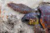 Tartaruga marina salvata al largo di San Vito Lo Capo