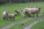 Noto, un allevatore: il mio ovile assaltato dai cani