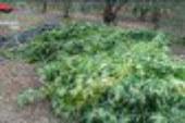 Boom di marijuana prodotta in loco nel comprensorio di Gela