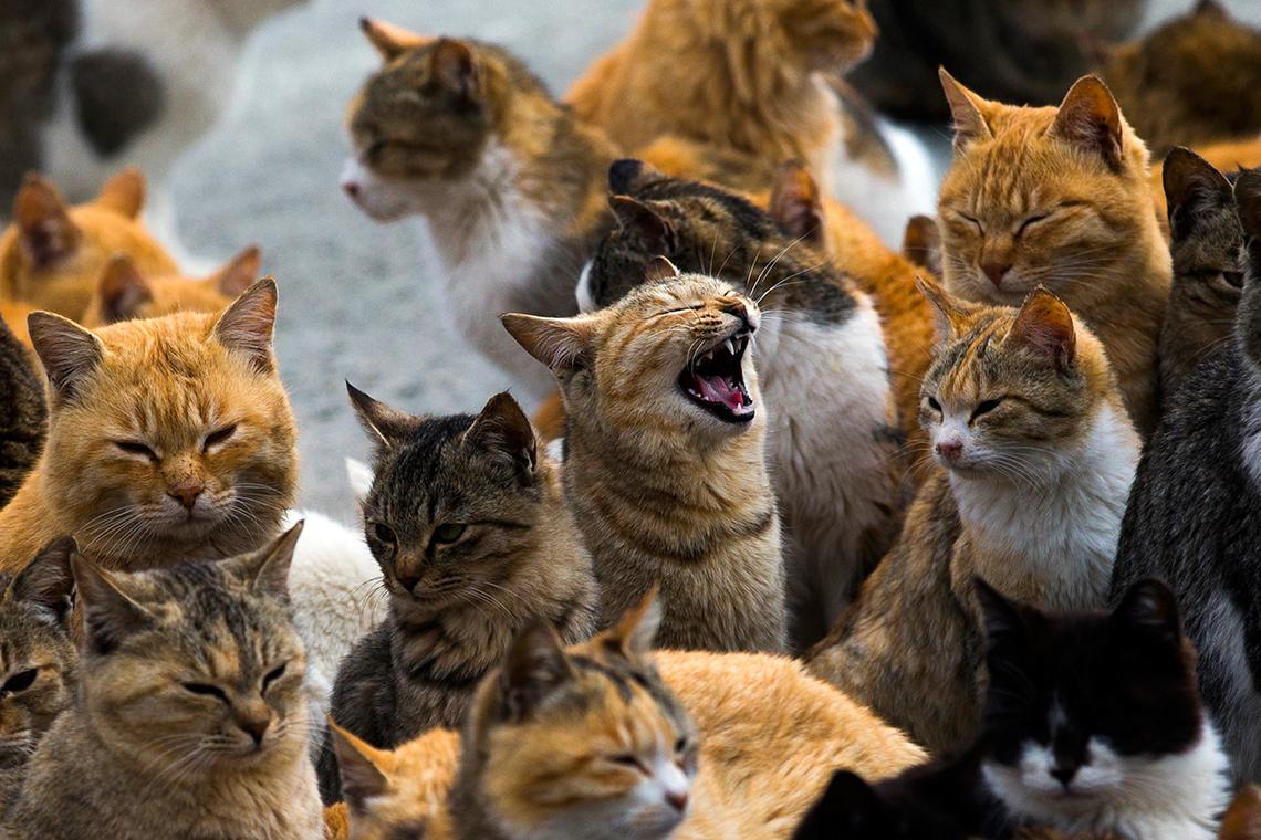 Esiste un luogo, sull'isola di Aoshima, in Giappone, dove i padroni non sono gli uomini, ma i gatti.Felinidi ogni razza e colore checontrollano l'isola di Aoshima.Qui, nel 1945, venne portata una piccola colonia di gatti per ostacolare i topi, che danneggiavanole barche dei pescatori. In quel annovivevano solo 900 persone. L'isola giapponese conquistata dai gatti. Oggi la situazione è cambiata: i numero degli abitanti è diverso, così come il numero dei felini. Per l'esattezza si sono moltiplicati fino a diventare 120, sei per ogni abitante. Una popolazione divisa tra chi li accudisce e chi li allontana. Questoreportage fotografico di Thomas