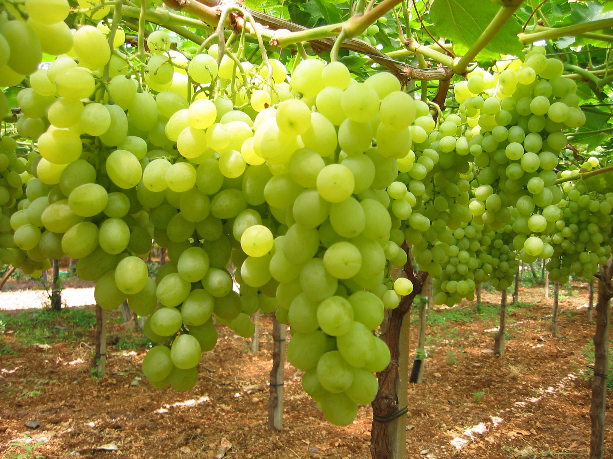Festival internazionale dell 39 uva da tavola pronta l 39 xi - Uva da tavola di mazzarrone ...