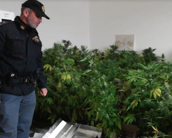 piante di marijuana