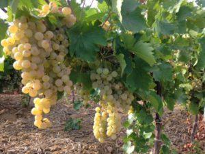 Sovrabbondanza produttiva vino siciliano: crisi dei prezzi