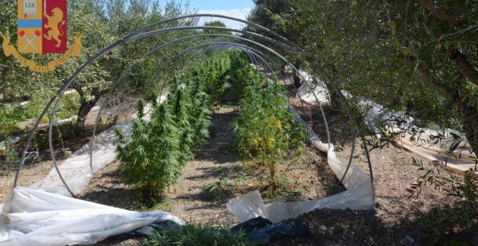 Piantagione di marijuana nell'agrigentino