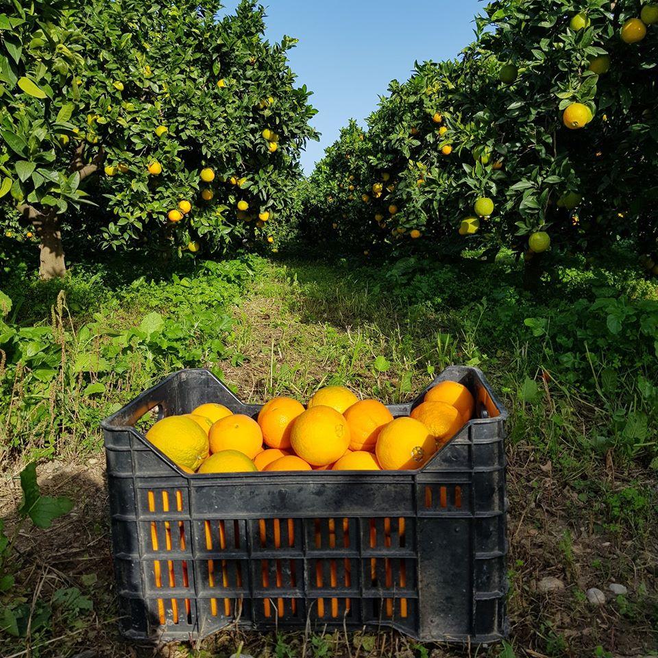 Sagra delle arance di Ribera DOP