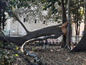 Ficus secolare di piazza Marina, cede branca laterale: squilibri idrici