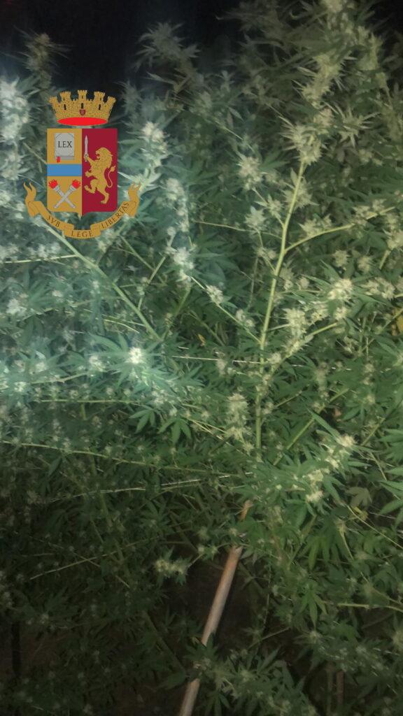 piantagione di marijuana pallavicino