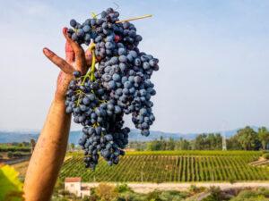 Annata 2020 e previsioni 2021: sempre più vini di qualità in Sicilia